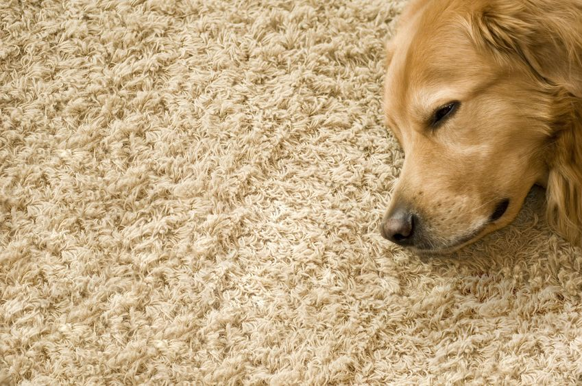 How To Remove Pet Odors And Dirt From The Carpets